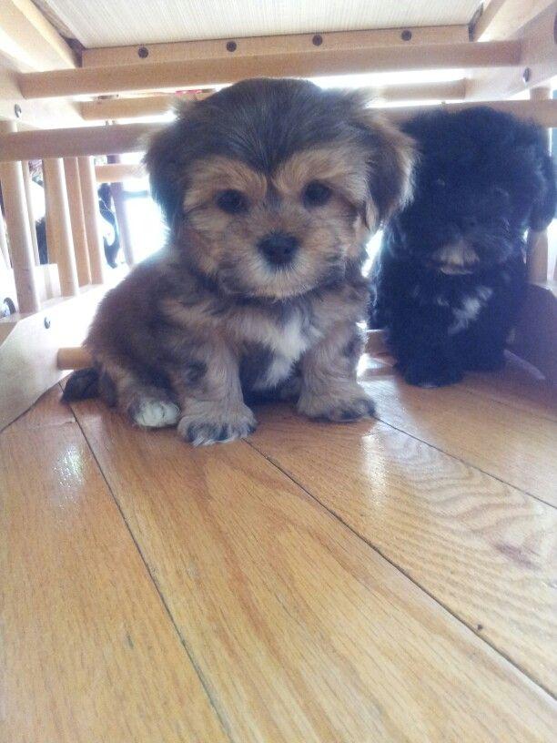 Shorkie 6 Weeks Shih Tzu Yorkie Mix Cute Animals Yorkie Shih Tzu Mix Dog Care