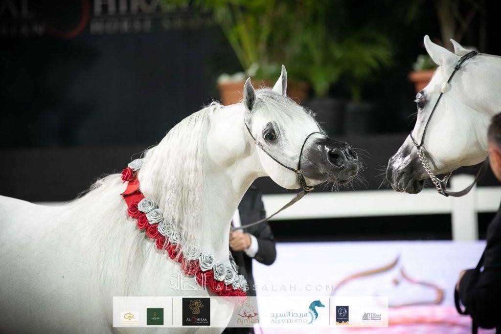 صور مقتطفة من اليوم الختامي من بطولة الشراع الدولية ٢٠٢٠ لجمال الخيل العربية Arabian Horse Horses Animals