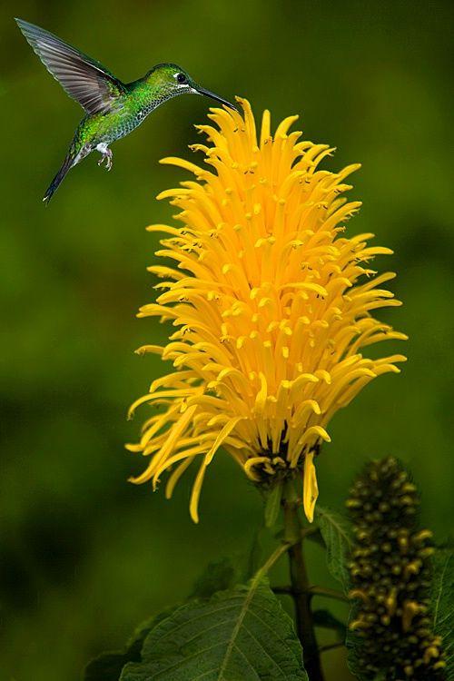 Purple throated mountain gem hummingbird, Costa Rica - Flores Amarelas  É uma cor alegre, que estimula a memória. É considerada a cor do verão e do sol e simboliza a amizade, o sucesso. Também expressa satisfação e alegria. Exemplos: girassol, margarida, lírio, rosa, crisântemo, tulipa, gladíolo.