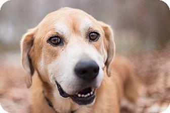 Knoxville Tn Basset Hound Labrador Retriever Mix Meet Levi A