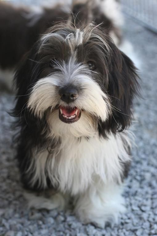 Everything About The Cheerful Havanese Pup Grooming