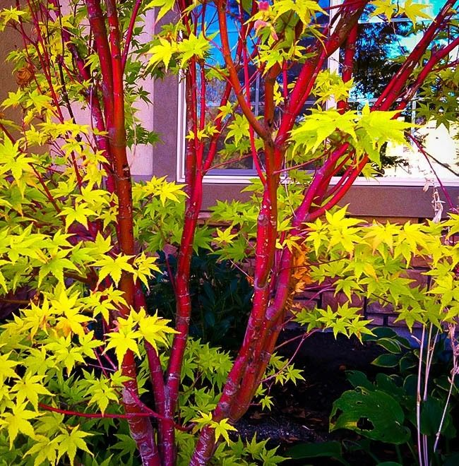 Coral Bark Japanese Maple Coral bark maple, Japanese