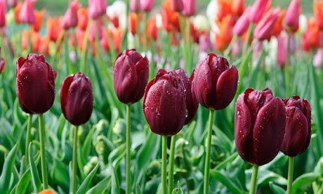 Tulip National Velvet Google Search Tulips Tulips Holland Spring Plants