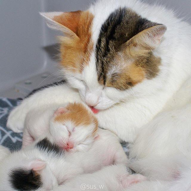 via swedish cat mafia sus w momma s boy mamÃe e filhotes