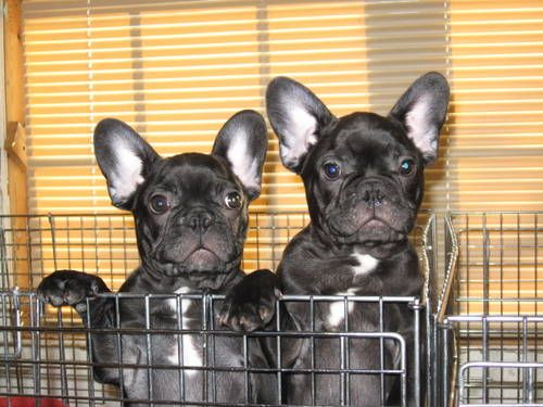 French Bulldog Puppies Akc 2 Brindle Males For Sale Born 10 15 12