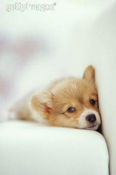 Corgi pup
