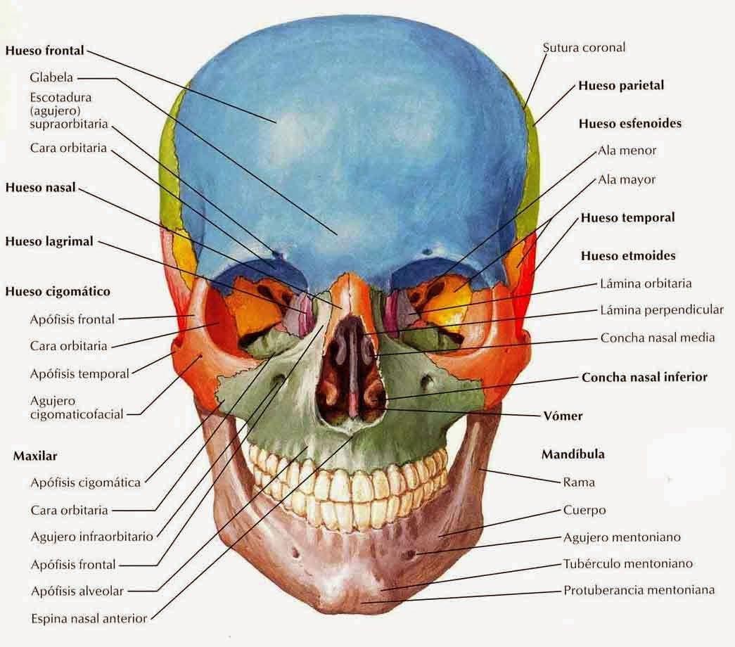 EL CRÁNEO HUMANO | Fisiologia y/o Anatomía | Pinterest | Cráneo ...