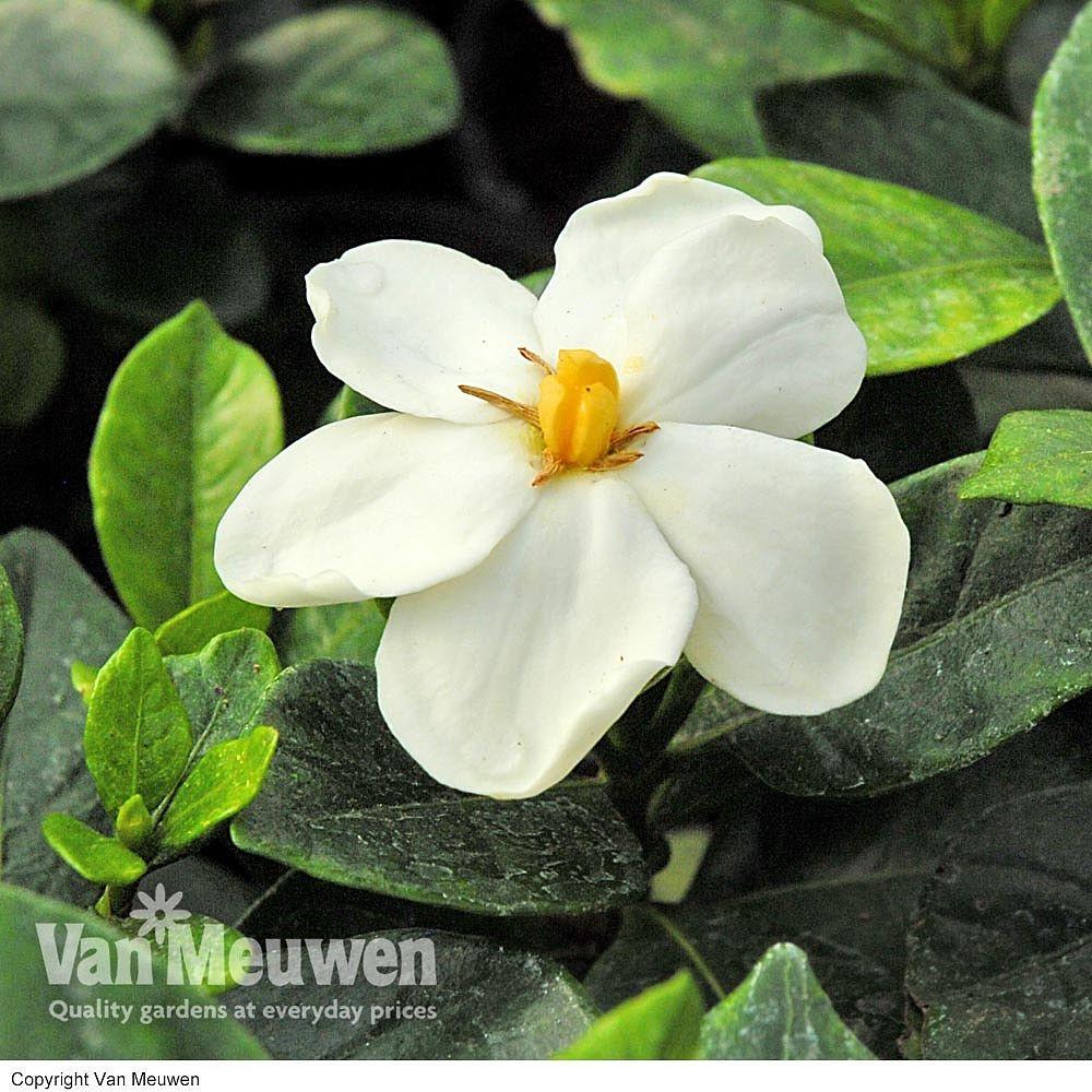 Gardenia Jasminoides Kleim S Hardy Cape Jasmine Hardy Plants