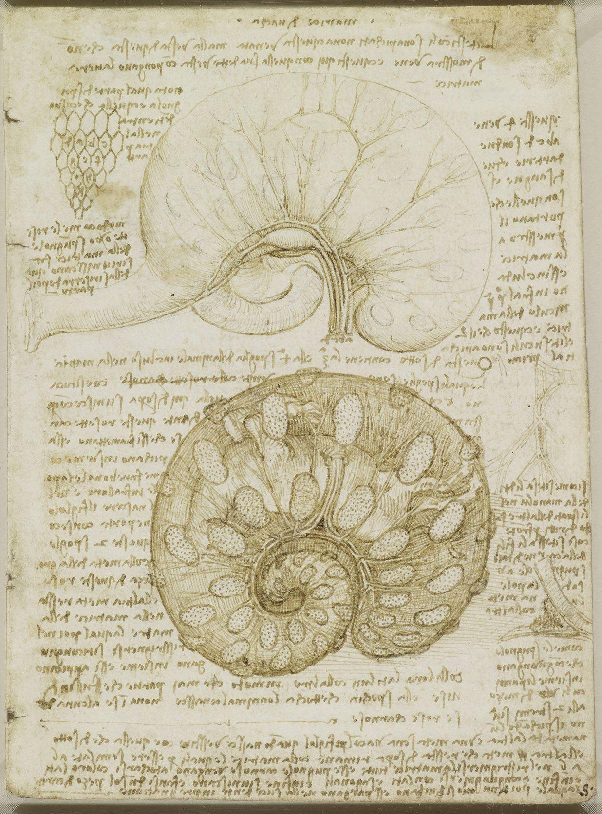 The Uterus Of A Gravid Cow Leonardo Da Vinci Vinci