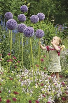 5 Giant Purple Sensation Allium Hundreds Of Tiny Violet Purple Flowers That Form A Perfectly Rounded Ball On Top Of A Flowers Giganteum Beautiful Flowers