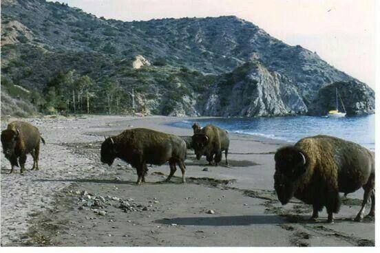 Catalina Island Two Harbor Beach Isthmus Buffalo On The Beach Catalina Island San Diego Travel Santa Catalina Island