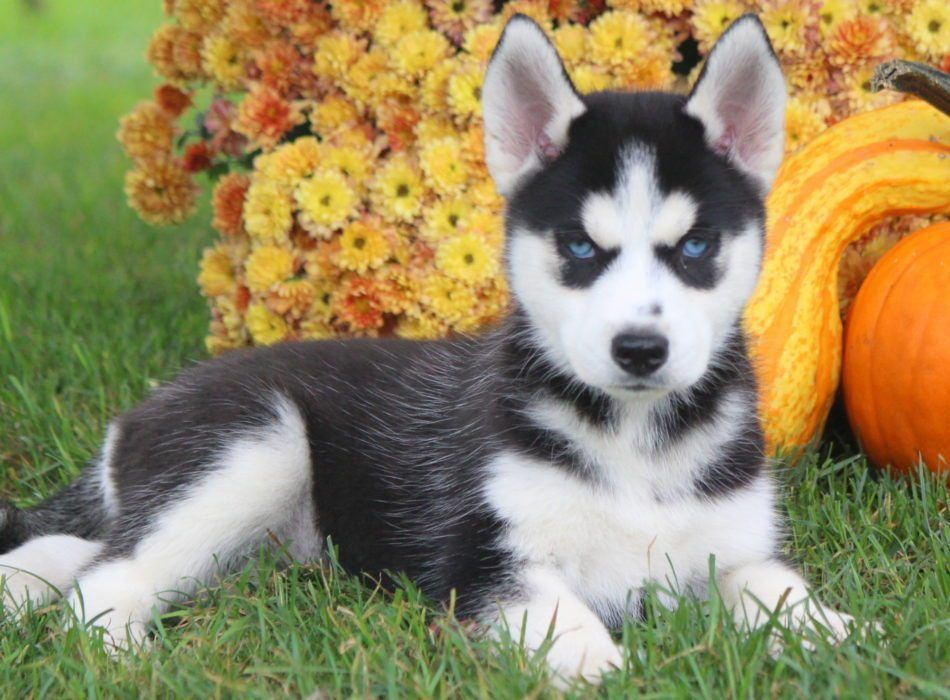 Siberian Husky Puppies For Sale Health Guaranteed Keystone