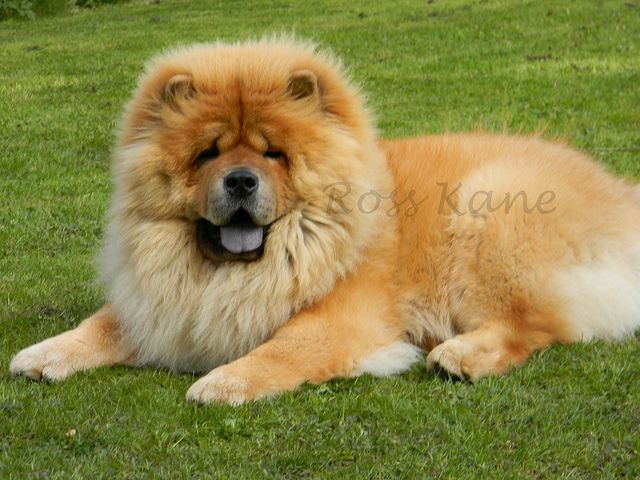 Chow Chow Chow Chow Dogs Chow Chow Buy Puppies