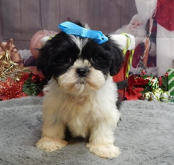 Shih Tzu Puppy For Sale In Chicago Il Adn 21081 On Puppyfinder