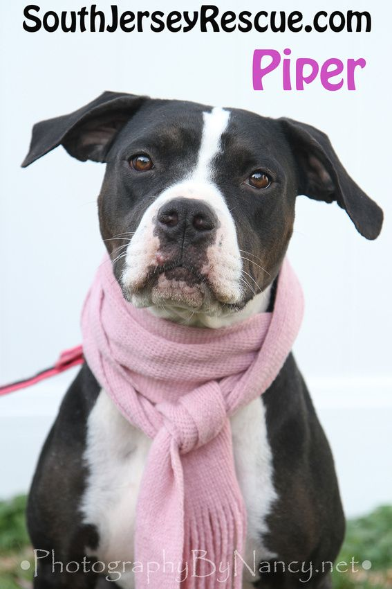 Piper Bull Dog Pointer Mix South Jersey Rescue Dog Photo Dog In Scarf Pet Photography Shelter Photos Animal Adoption Caes