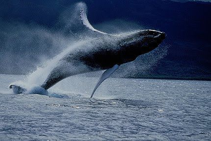Ballena En Samana Republica Dominicana Whale Facts Whale Humpback Whale Facts