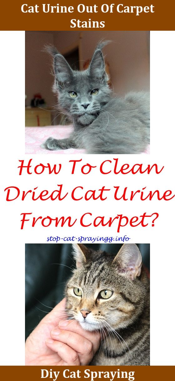 How To Clean Dry Cat Urine Out Of Carpet Www Resnooze Com