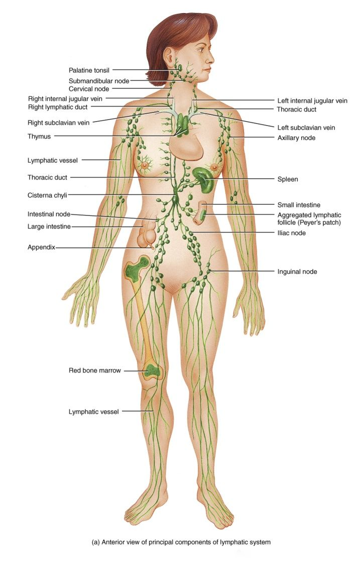 Lymphatic System Anatomy Of The Human Race Pinterest