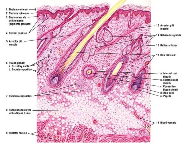 Palm (skin) | Histology - Skin | Pinterest | Palm, Nursing cheat ...