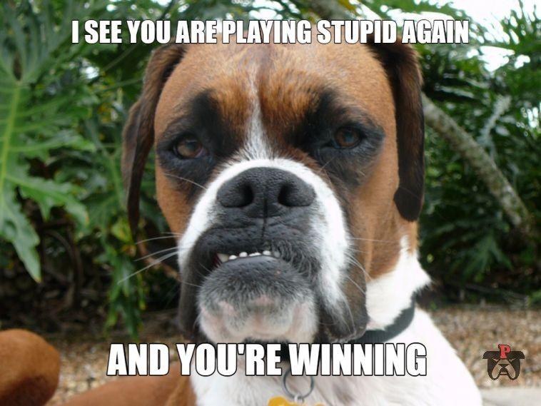 Sparks The Sarcastic Boxer Meme Boxer Memes Funny Dog Captions