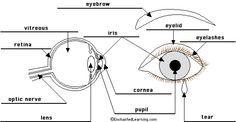 Model of the eye caaf95d4597c47f8430c224ec488d12eg 236122 c3 model of the eye caaf95d4597c47f8430c224ec488d12eg 236122 ccuart Image collections