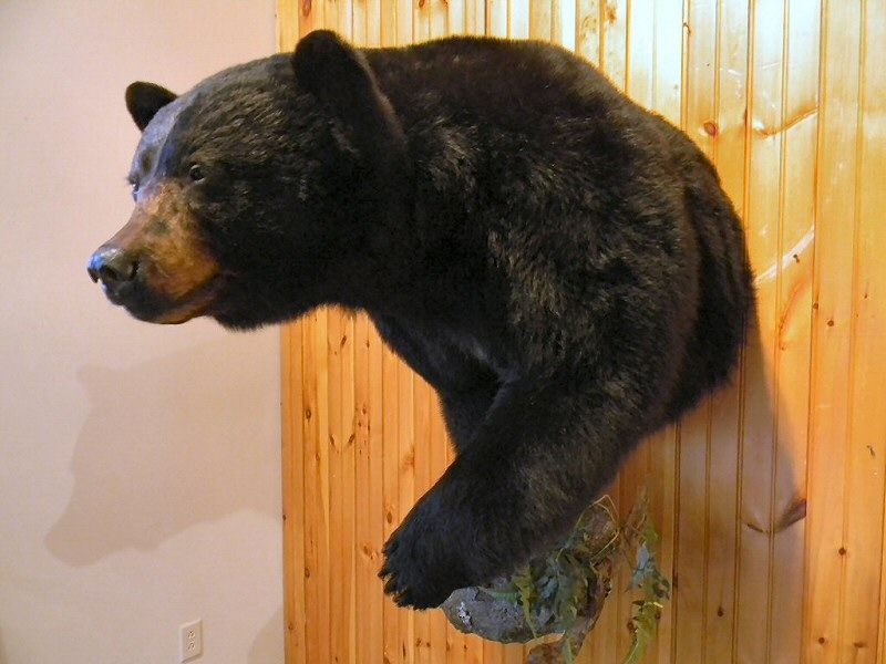 Bear Taxidermy Shoulder Mounts Pa Bear Hunting Bear Mounts