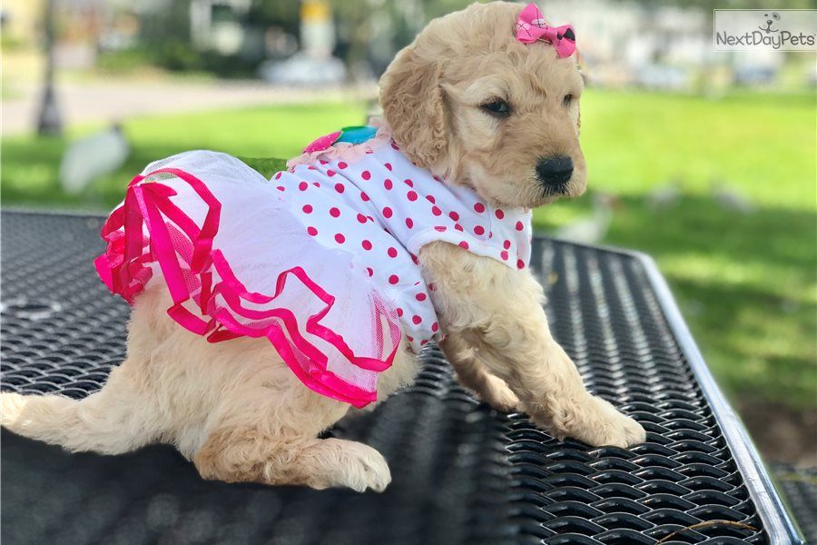 Isabelle Goldendoodle Puppy For Sale Near Lakeland Florida