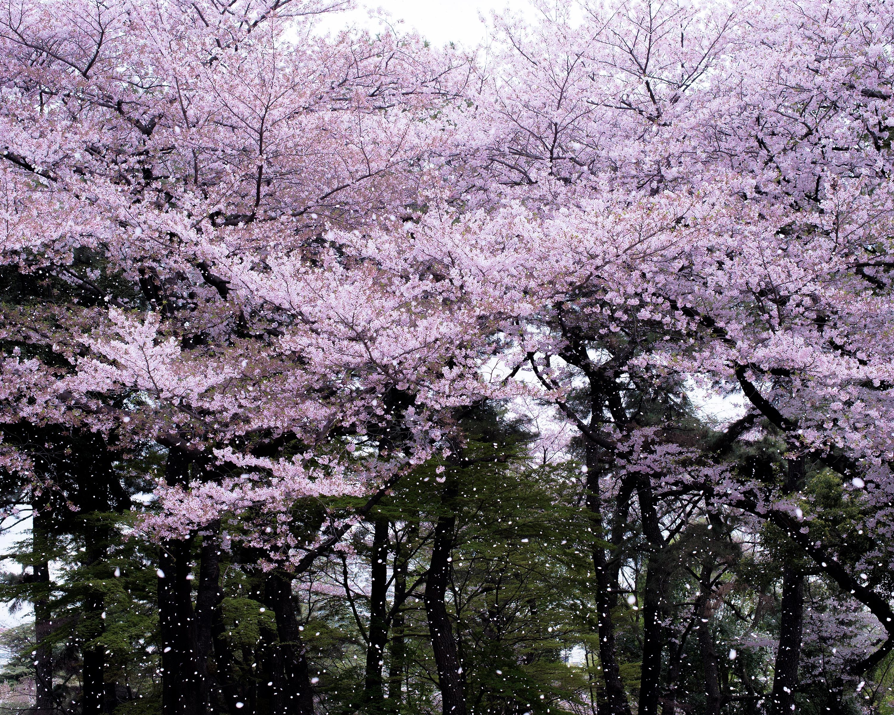 Embrace Spring With Pictures Of Japan S Cherry Blossoms Cherry Blossom Petals Cherry Blossom Flowers Japan Cherry Blossom Festival