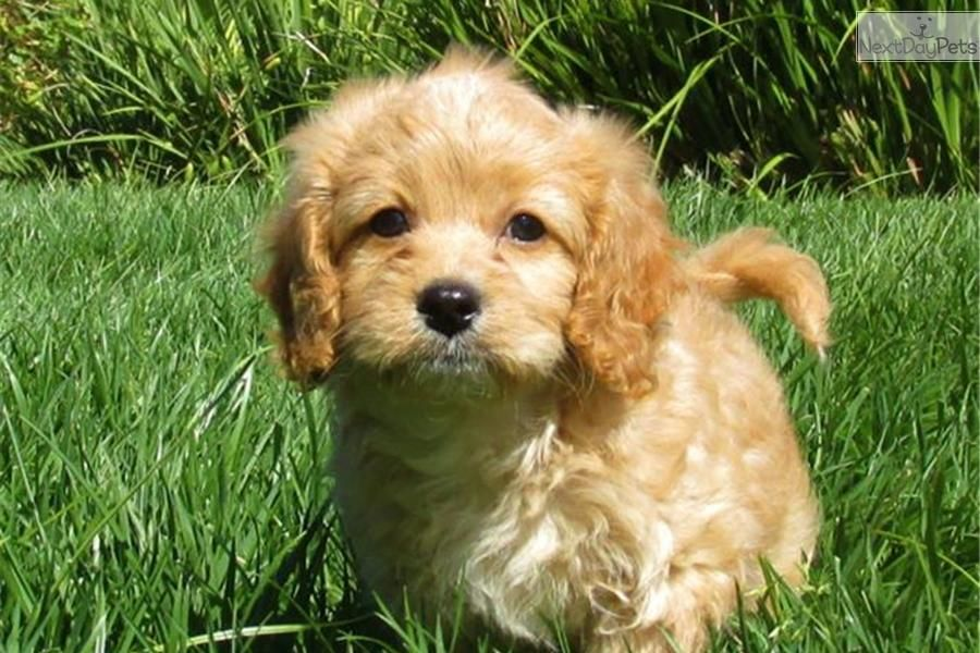 Beckham Is A Male Cavapoo Puppy For Sale Near San Diego California Born On 6 6 2013 And Priced For 895 Li Cavapoo Puppies For Sale Cavapoo Puppies Cavapoo