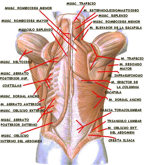 Funcion principal de los musculos de la espalda