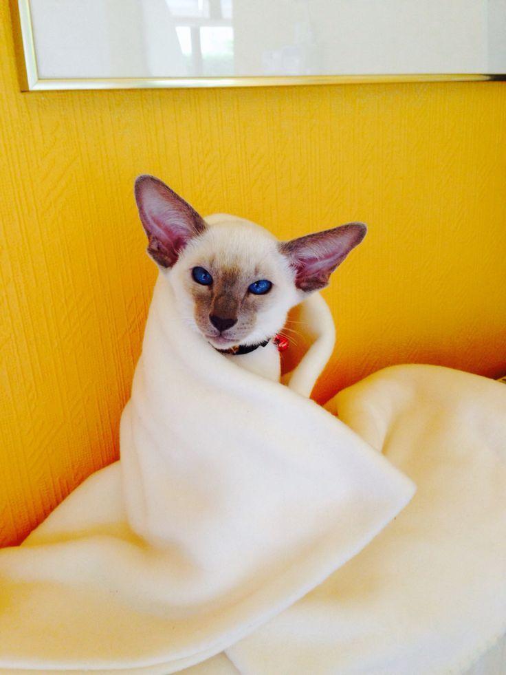 Siamese Cat Catssky Siamese Cats Siamese Cats Blue Point Siamese Kittens