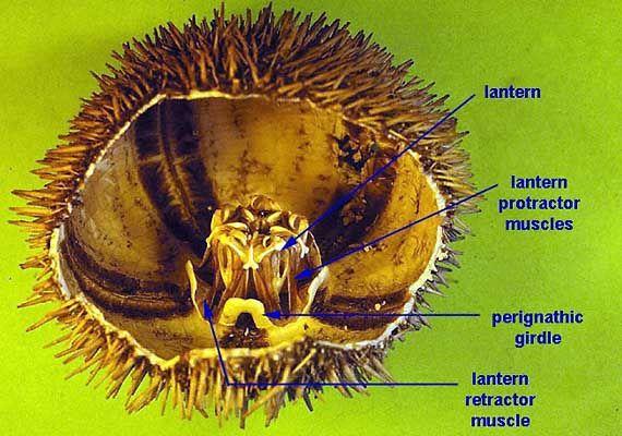 Sea Urchin anatomy