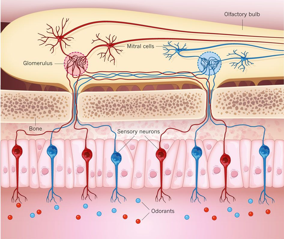 Specific Groups: Sensory Neurons In The Nose Are Activated By Specific