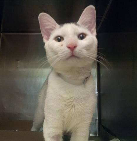 To Be Destroyed 9 11 14 Friendly Young Kitten Aska May Have A Heart Murmur But He Is All Heart Beginner Aska Inte Cat Adoption My Animal Here Kitty Kitty