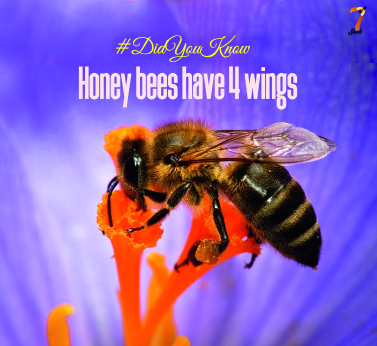 DidYouKnow Honey bees have 4 wings and they stroke their