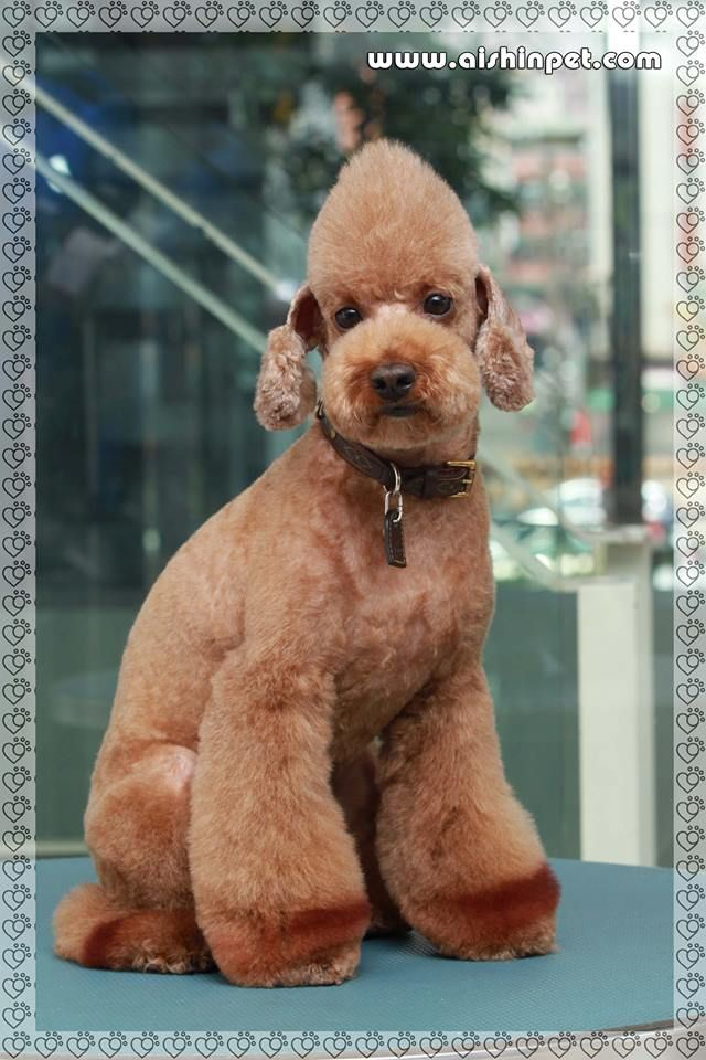 Asian Style Poodle Cut Dog Grooming Pinterest Poodle Cuts