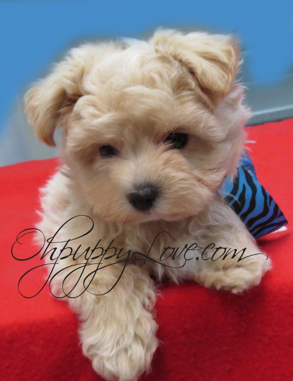 Mixed breed terriers for sale