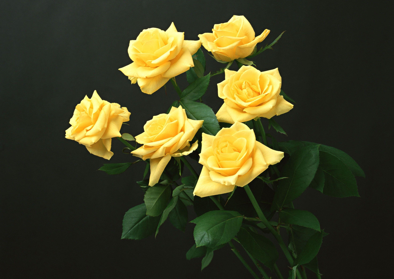 Six Yellow Rose Flowers Yellow Roses Black Background Flowers 2k Wallpaper Hdwallpaper Desktop Yellow Roses Flowers Rose Wallpaper