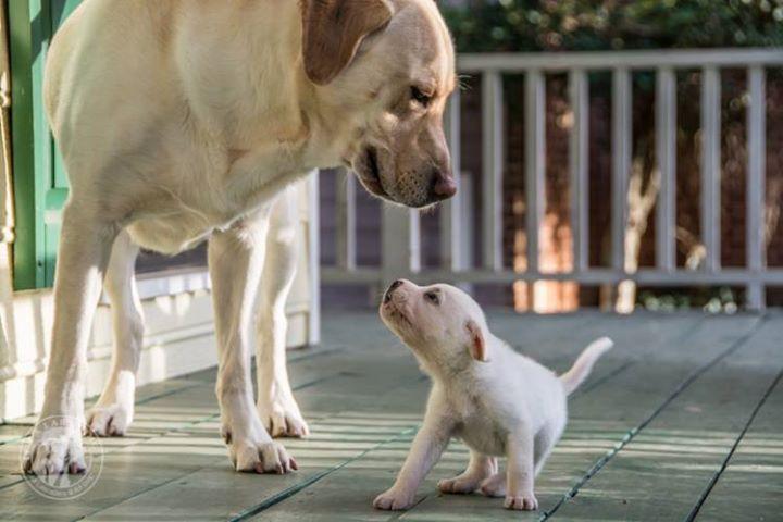 Labrador Yellow #labrador