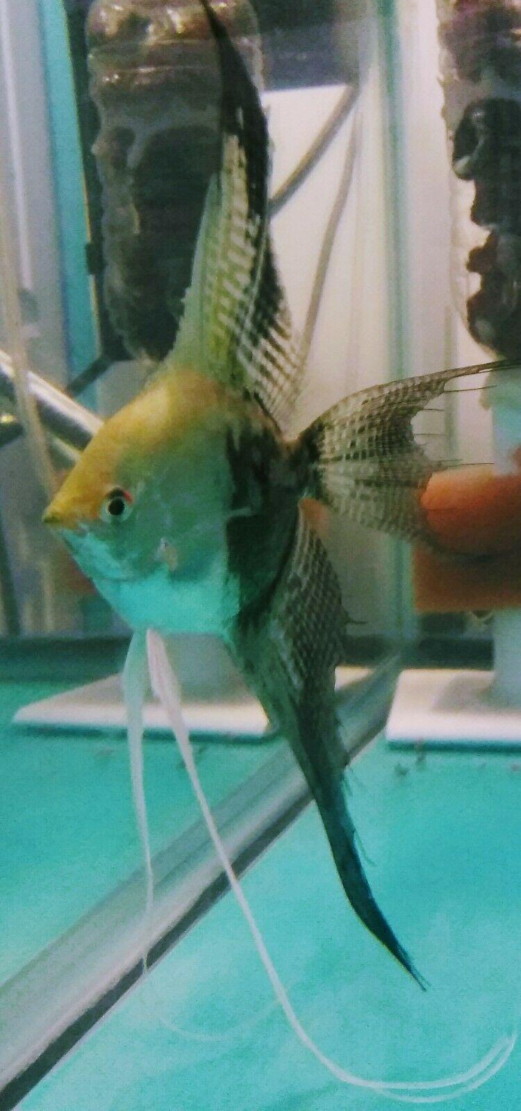 Blue Chocolate Angelfish Veil Tail Angel Fish Fish Pet Tropical Fish