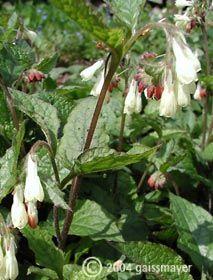 Symphytum grandiflorum - Kleiner Kaukasus-Beinwell