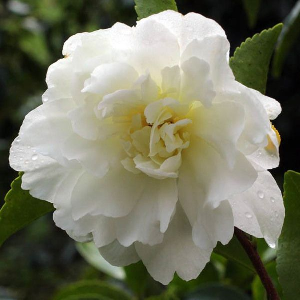 Considered One Of The Most Popular Of The Fall Blooming Camellia Varieties Camellia Sasanqua 39 Mine No Yuki 39 White Dove Camellia Flowers Inside Plants