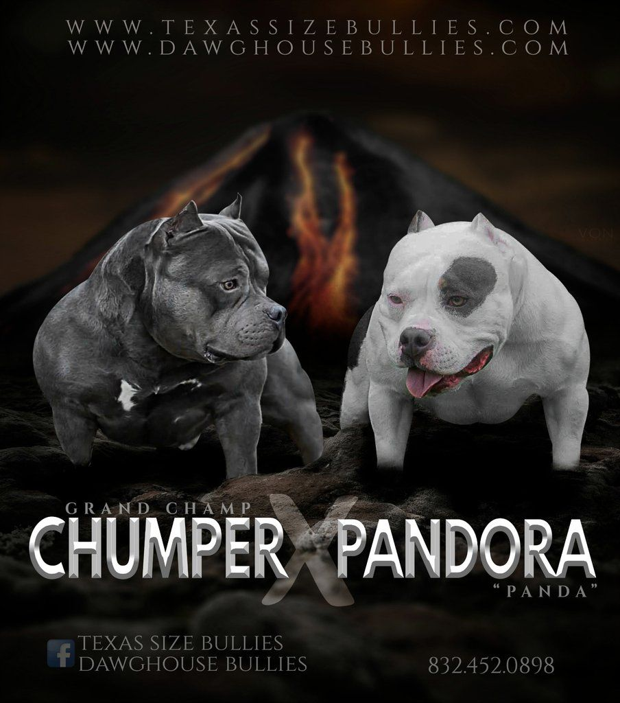 breedings american bully puppies (With images