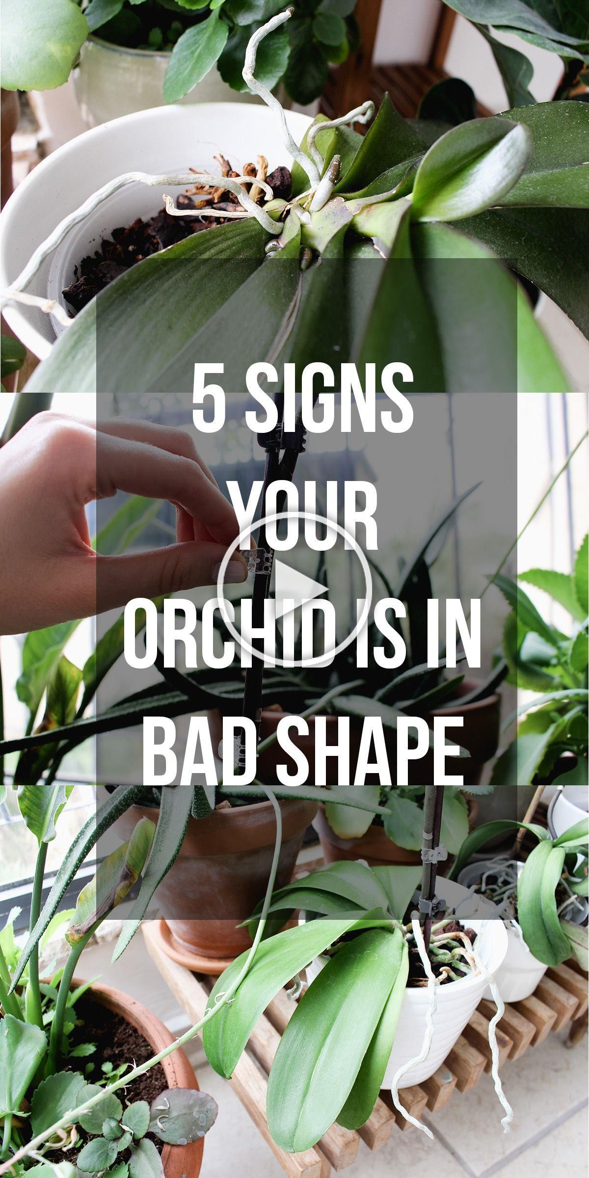5 Signs Your Orchid Is In Bad Shape In 2020 Orchideenpflege Orchideen Pflege Orchideen