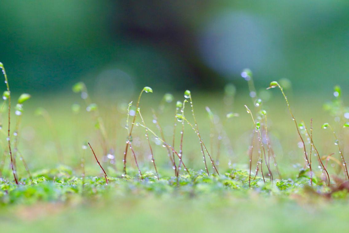 苔テーブルの草の芽  奥入瀬渓流にて