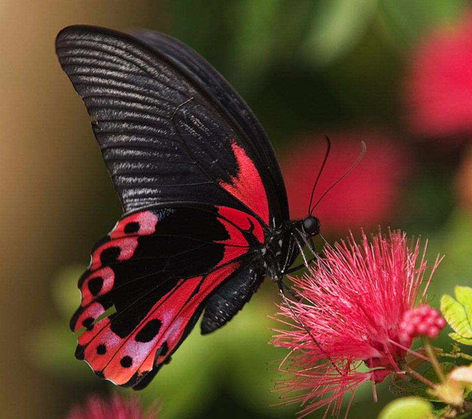 Flowers and Butterflies | animal,black,butterfly,flowers ...