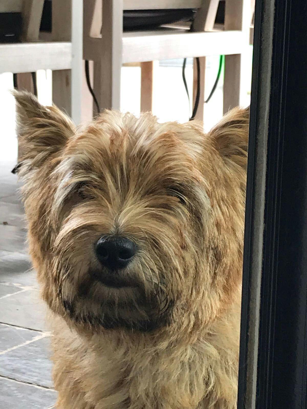 Cairn Terrier Cairn Terrier Terrier Dog Pictures