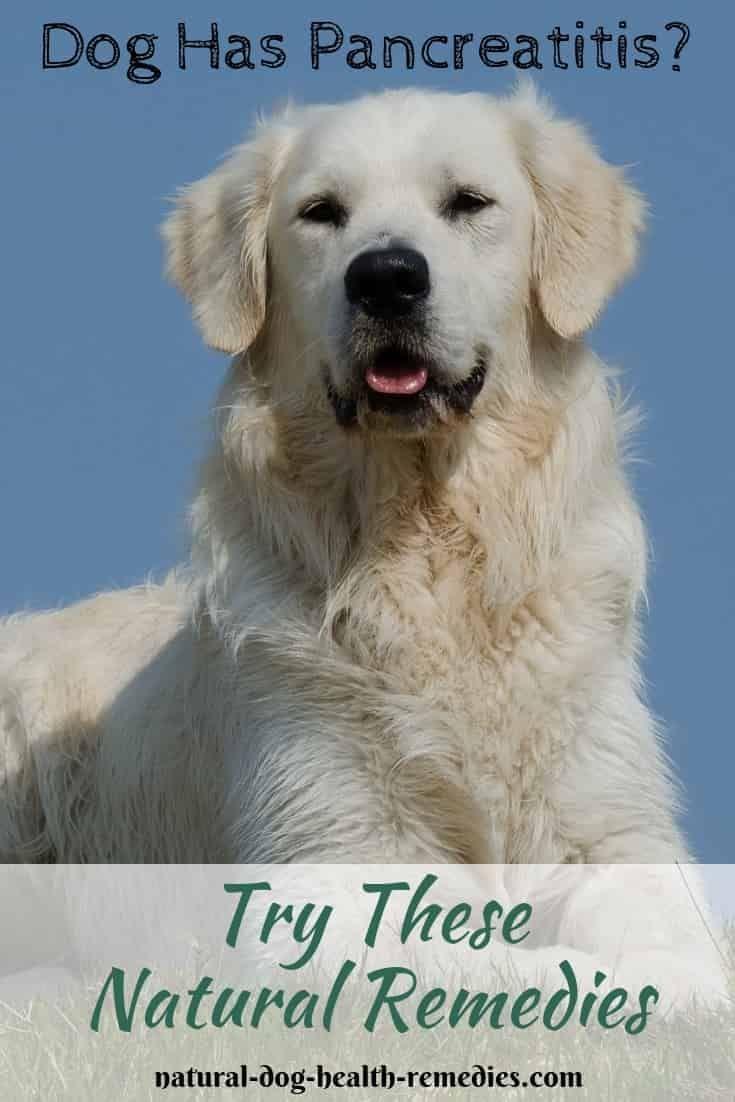 Dog pancreatitis remedies supplements and diet dog