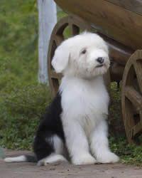 Old English Sheepdog History Temperament Care Training More