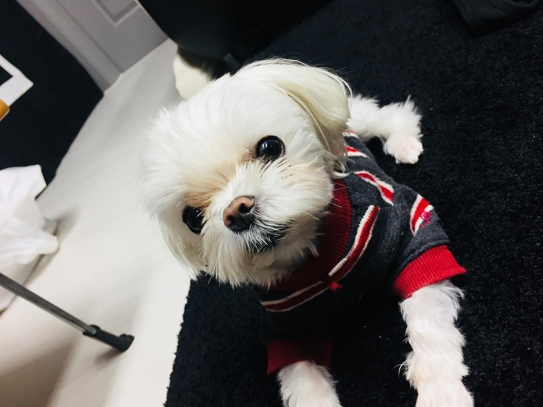 K Pop Idol Pets Who Are Almost As Famous As Their Owners Got7 Coco Pets Teacup Puppies Maltese
